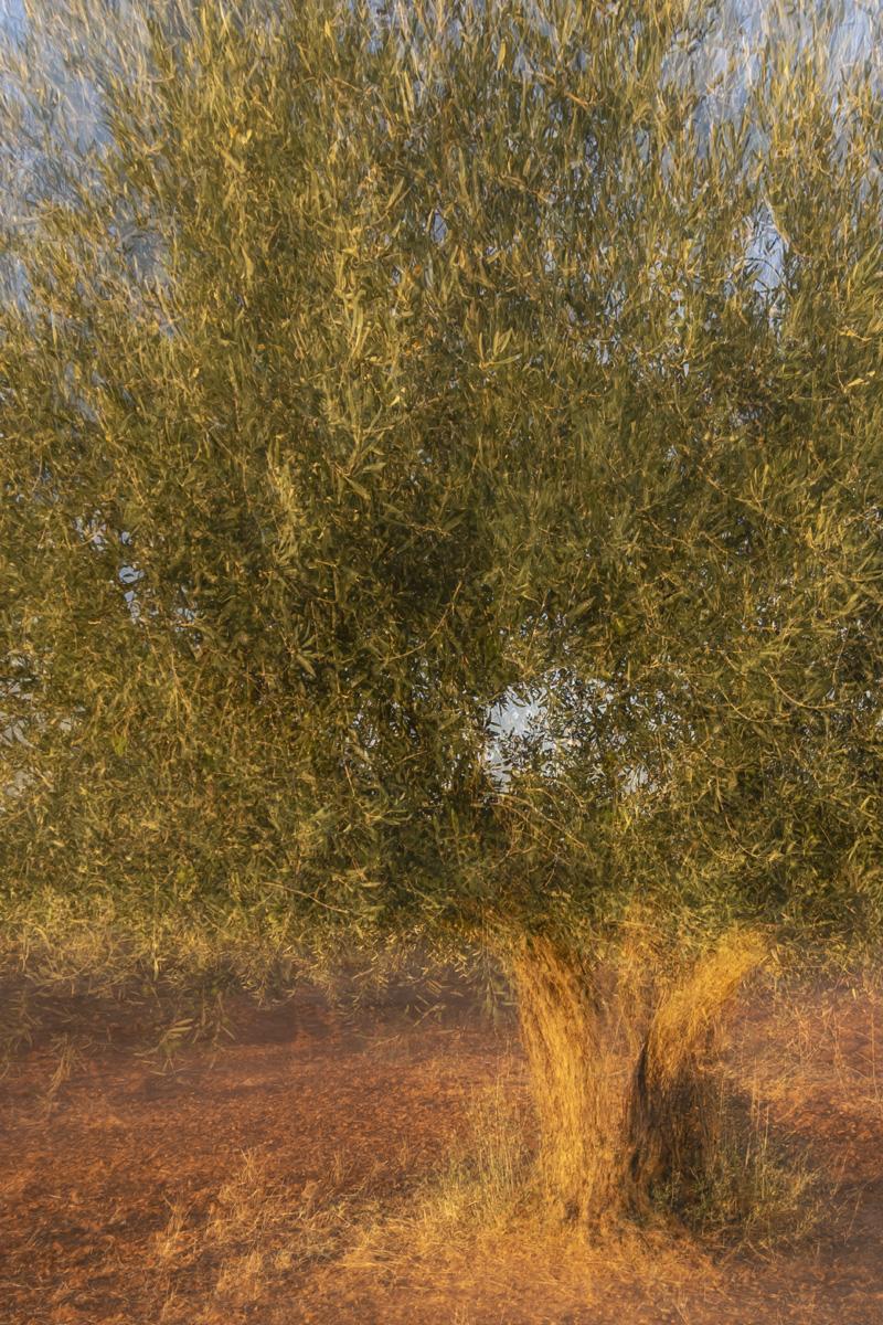Ángel Castillo Perona: El Olivo (The Olive tree)
